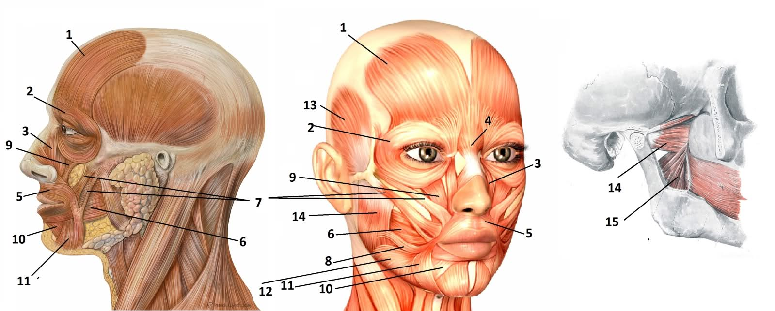Facial Muscle Tightness 48