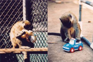 gender-toys-macaques